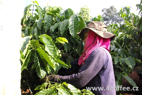 Bolívie - sklizeň kávy